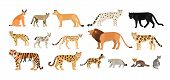 Collection of different wild and domestic cats. Exotic animals of Felidae family isolated on white background. Bundle of cute cartoon characters. Flat colorful zoological vector illustration poster
