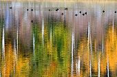 glassy, calm pond with autumn colors reflected and ducks on the water ** Note: Slight graininess, best at smaller sizes poster