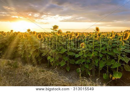 Sunflower Field At Sunset. Blooming Yellow Sunflowers Against A Colorful Sky With Sunrays Of Setting