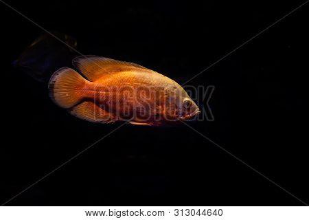 Nice Big Yellow Fish On Dark Background Nature Close Up Macro Color Food Fresh
