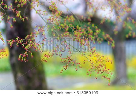 Young Japanese mapple leaves and flowers at spring, Japan