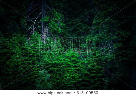 Dark Creepy Pine Forest. Mystic Spooky Deep Evergreen Woods Background.