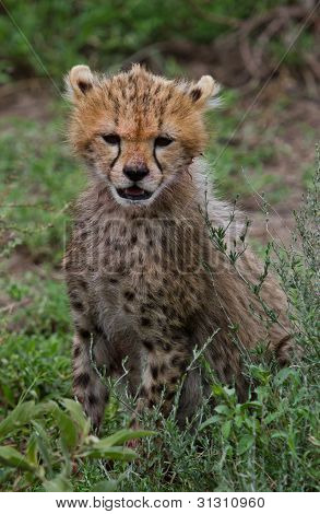 Cheetah cub with Blood on nose