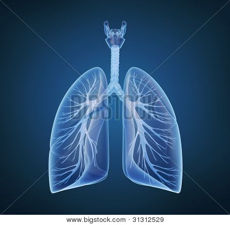 Human lungs and bronchi in x-ray view