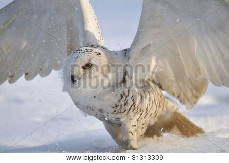 Snowy owl flap wings on the snow field poster