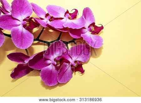 Pink Orchid (phalaenopsis) Brench On A Golden Paper Background. Beautiful Indoor Flowers Close-up. G