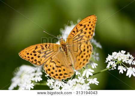 Orange Butterfly Sitting On White Flower Macro Background Fine Art High Quality Prints Products Fift
