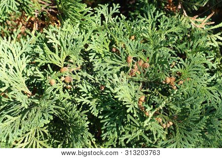 Feathery Green Leaves And Brown Seeds Of Thuja Occidentalis In October