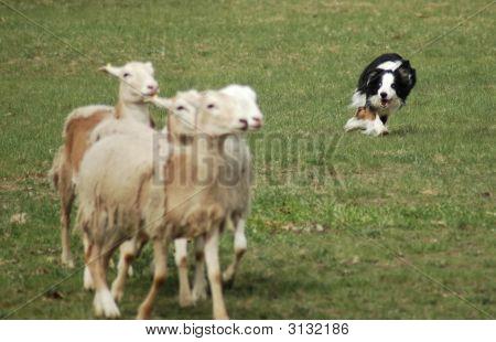 Sheep Dog Herding in the Field