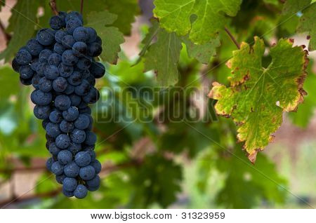 Ripe Red Wine Grapes
