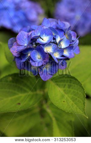Hydrangea In Kamakura, Kanagawa, Japan (one Bluish Purple Flower)
