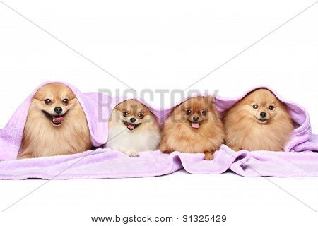spitz dog group under a blanket on a white background poster