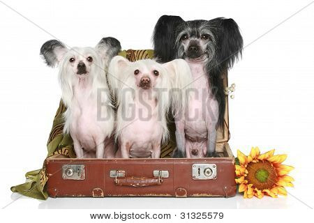three Chinese Crested Dogs in old suitcase on a white background poster