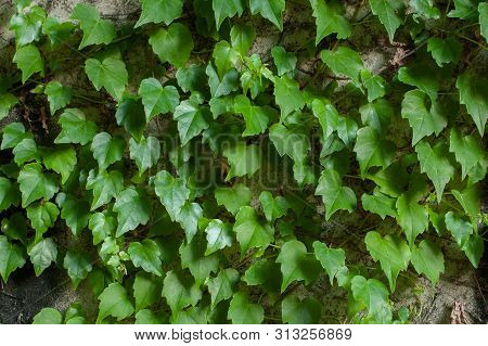 Green Clambering Plant On A Grey Stone Surface. Close-up View. Natural Background