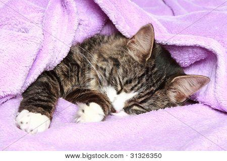 Mix-breed Cat Sleep under soft violet blanket poster