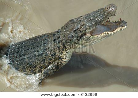 Crocodile Northern Territory
