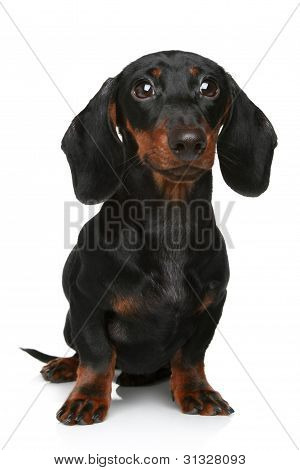 Mini dachshund portrait on a white background poster