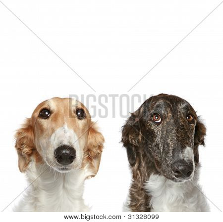 Russian Borzoi puppies (5 months). Portrait with copy space on a white background poster