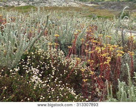 Wildflowers At Asilomar State Beach In Pacific Grove, California
