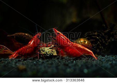 Red Neocaridina Shrimp Fire Sacura Cherry Pets Aquarium Freshwater
