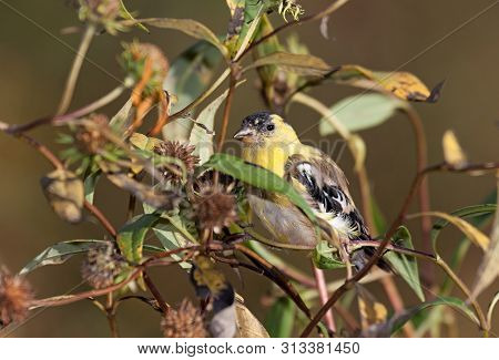 A Goldfinch Hids In A Patch Of Intertwined Dying Sunflowers While Eating Its Seeds.