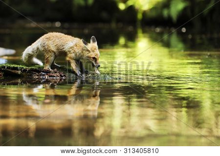 Young Vixen Of Red Fox Stay On Stone Eating Little Fish  - Vulpes Vulpes