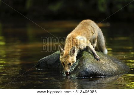 Young Vixen Of Red Drink From River - Vulpes Vulpes