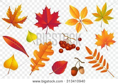 Autumn Falling Leaves Isolated On Transparent Background. Yellow Foliage Collection. Rowan, Oak, Map