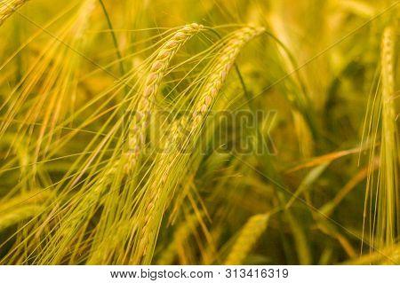 Ripe Wheat Ears In A Field. Wheat Field.earripe Wheat Ears In A Field. Wheat Field.ears Of Golden Wh