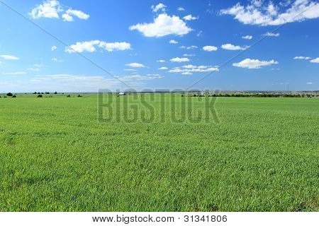 Spring Wheat Field with Fluffy Clouds