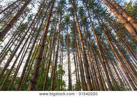 Trees Tower into the Sky