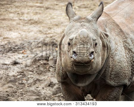 Beautiful Indian One Horned Rhinoceros. Curious & Happy Young Rhino. Wildlife Of India. Portrait Of