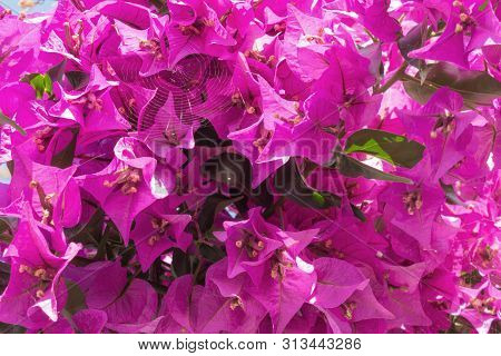 Beautiful Purple Campanula Bell Flowers Growing And Blooming On Garden Wall