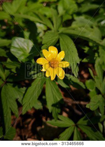 Yellow Anemone Gelbe Anemone , Gelbes Buschwindrschen , Anemone Ranunculoides L Macro Picture