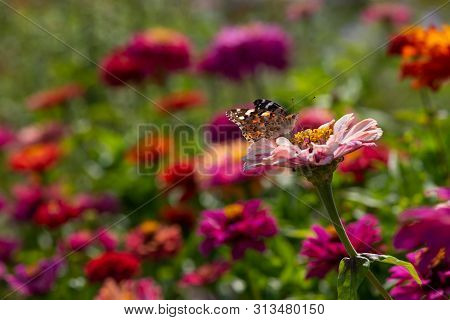 Vanessa Cardui Butterfly Color Summer Flowers Nature Macro Photography