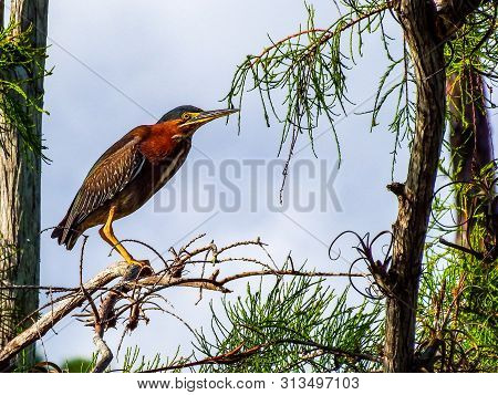 Green Heron, Roosting For A Moment Above An Everglades Marsh Pond
