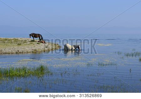 Nice Sunny Summer Day At Lake Baikal. It Is So Hot Weather That Horses Are Swimming