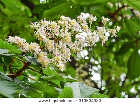 Fliwering Branches Of Chestnut Tree In Spring