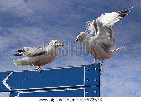 Two European Herring Gulls Against A Blue Sky With Clouds, Copy Space For Write. European Herring Gu