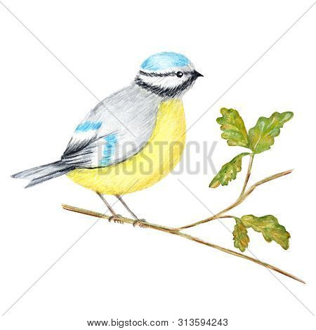 Watercolor Bird Bluetit Sitting On The Branch, Isolated On White Background. Tomtit Bird Watercolor