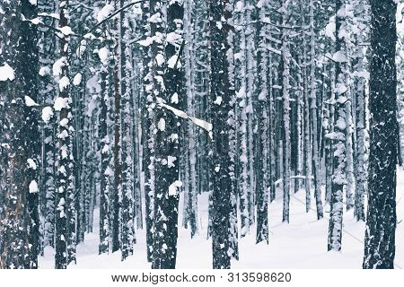 Winter Forest Nature Background. Pine Forest In Winter. Nature Background. Pine Forest Under Snow. N