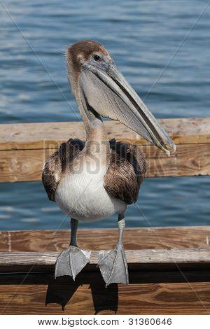 Pelican Balancing Act