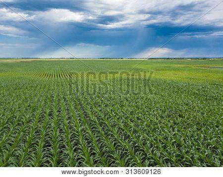 Corn field with approaching bands of rain in South Dakota, USA.