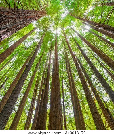 Californian Redwood Forest in Victoria, Australia