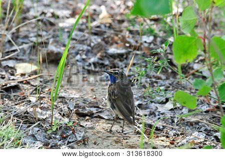 Bluethroat, Bird, Male. The Bluethroat Is A Bird Of The Family Of Thrush Detachment Of Passerine. Th