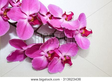 Pink Orchid (phalaenopsis) brench on a silver or grey paper background. Beautiful indoor flowers clo