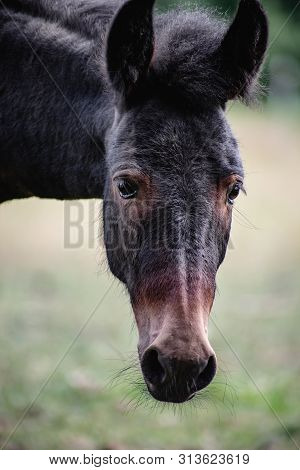 Young Mule Female Portrait. Close View Of Animal.