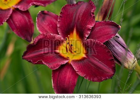 Colourful Red Day Lily Flower Head Against A Green Bokeh Background With Glorious Pistils