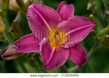 Colourful Pink Day Lily Flower Head Against A Green Bokeh Background With Glorious Pistils