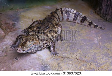 Nice Predator Crocodile Sitting On Rock Nature Reptile Wild